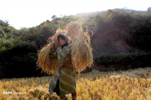 محمد نسایی برداشت برنج به روش سنتی در گلستان